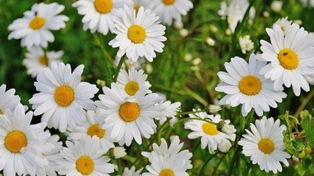 Hoa cúc trắng – Thảo dược có tính kháng viêm tốt