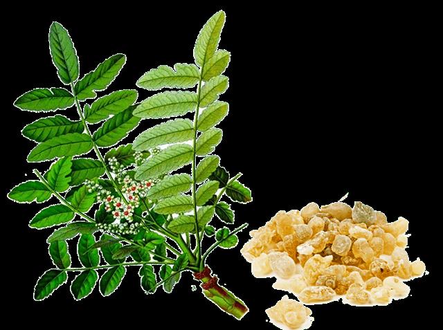 Tinh chất cây nhũ hương điều trị bệnh dạ dày