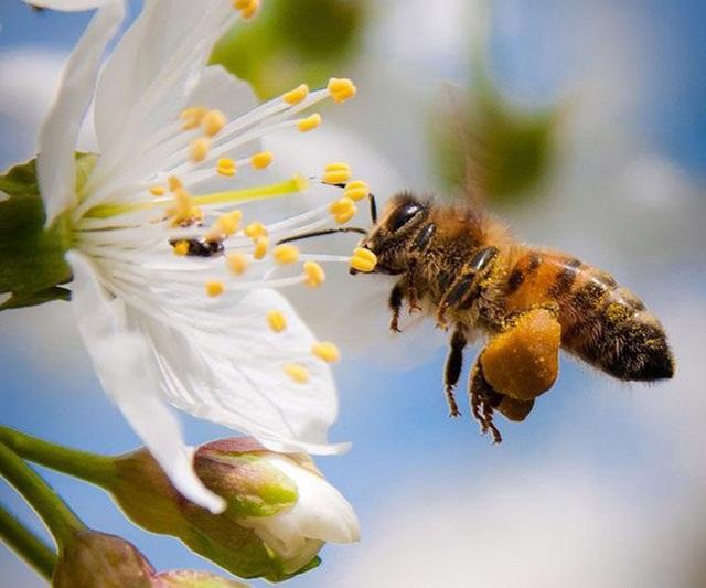 Phấn hoa giúp thu nhỏ tuyến tiền liệt hiệu quả